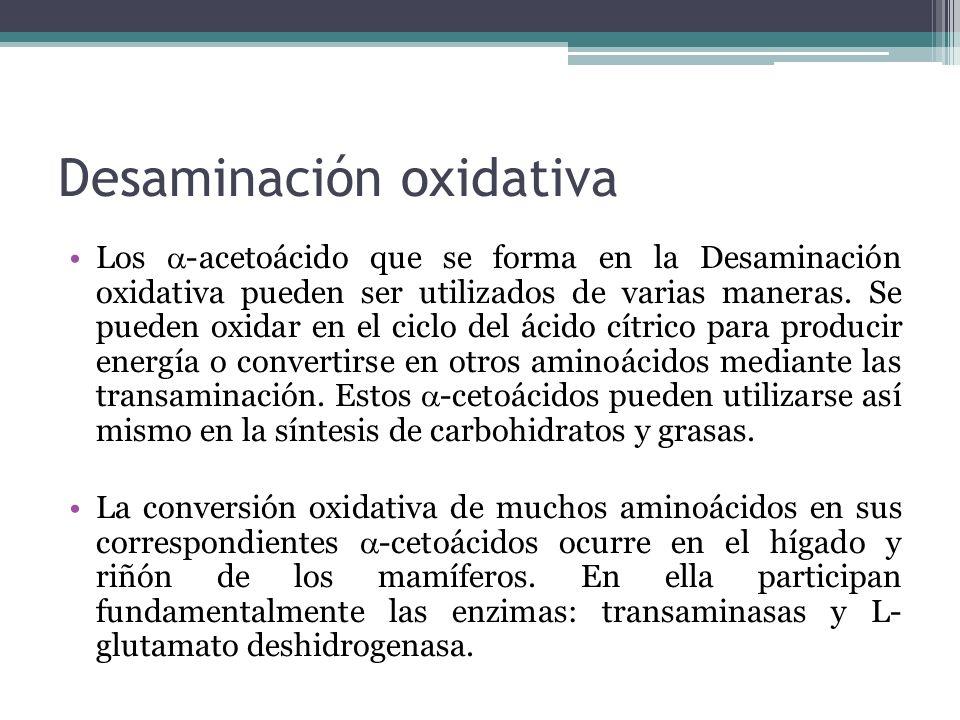 Desaminación oxidativa Los -acetoácido que se forma en la Desaminación oxidativa pueden ser utilizados de varias maneras. Se pueden oxidar en el ciclo