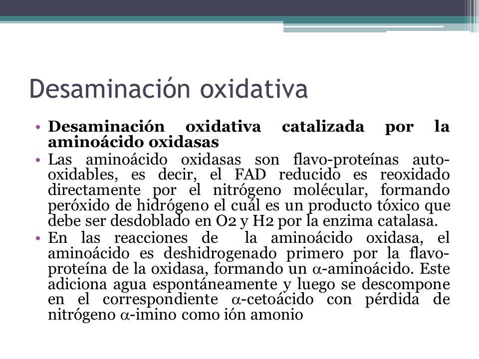 Desaminación oxidativa Desaminación oxidativa catalizada por la aminoácido oxidasas Las aminoácido oxidasas son flavo-proteínas auto- oxidables, es de