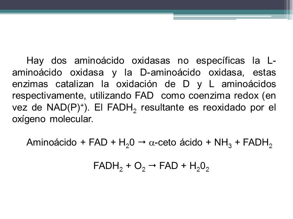 Hay dos aminoácido oxidasas no específicas la L- aminoácido oxidasa y la D-aminoácido oxidasa, estas enzimas catalizan la oxidación de D y L aminoácid