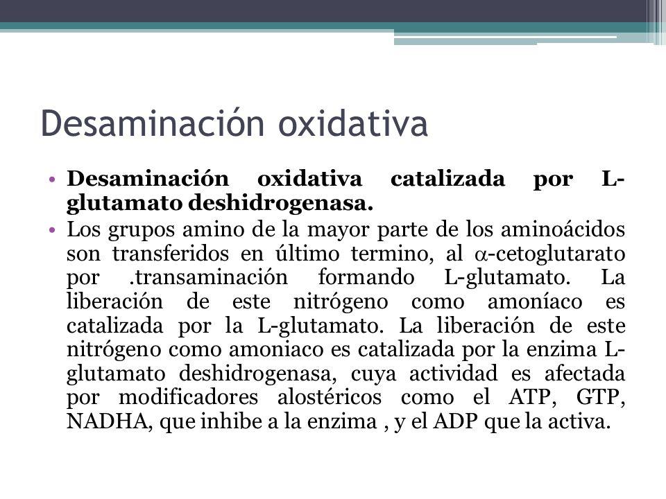 Desaminación oxidativa Desaminación oxidativa catalizada por L- glutamato deshidrogenasa. Los grupos amino de la mayor parte de los aminoácidos son tr