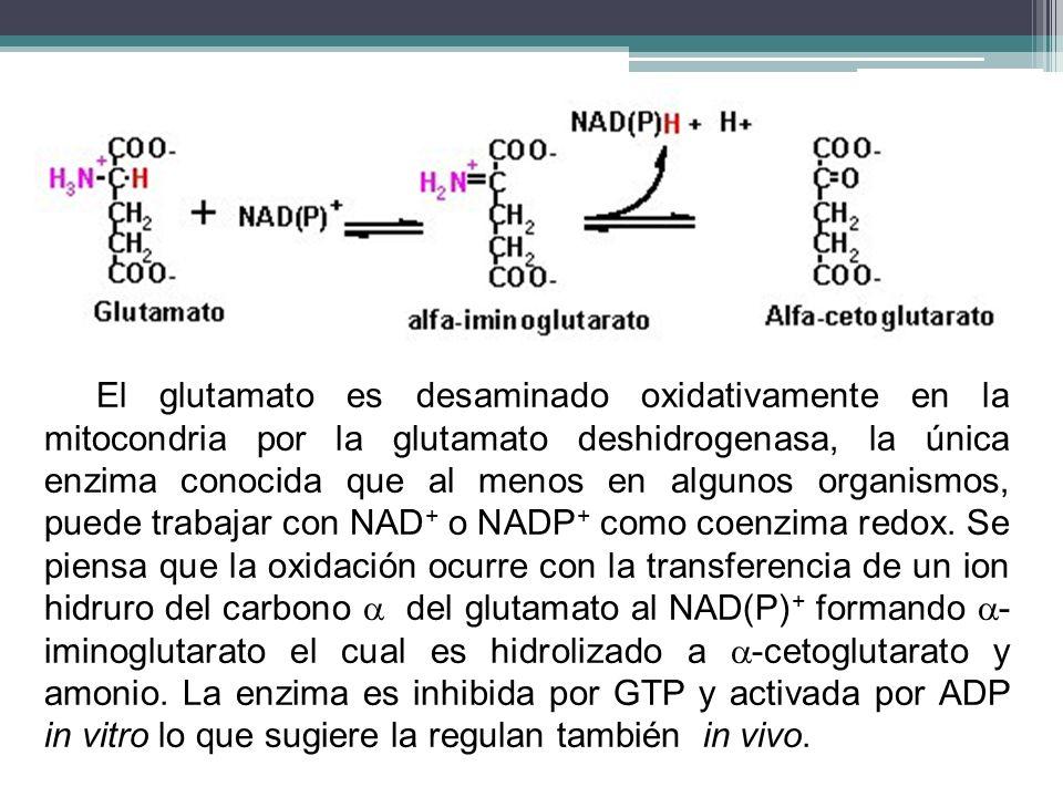 El glutamato es desaminado oxidativamente en la mitocondria por la glutamato deshidrogenasa, la única enzima conocida que al menos en algunos organism