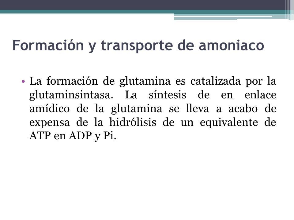 Formación y transporte de amoniaco La formación de glutamina es catalizada por la glutaminsintasa. La síntesis de en enlace amídico de la glutamina se