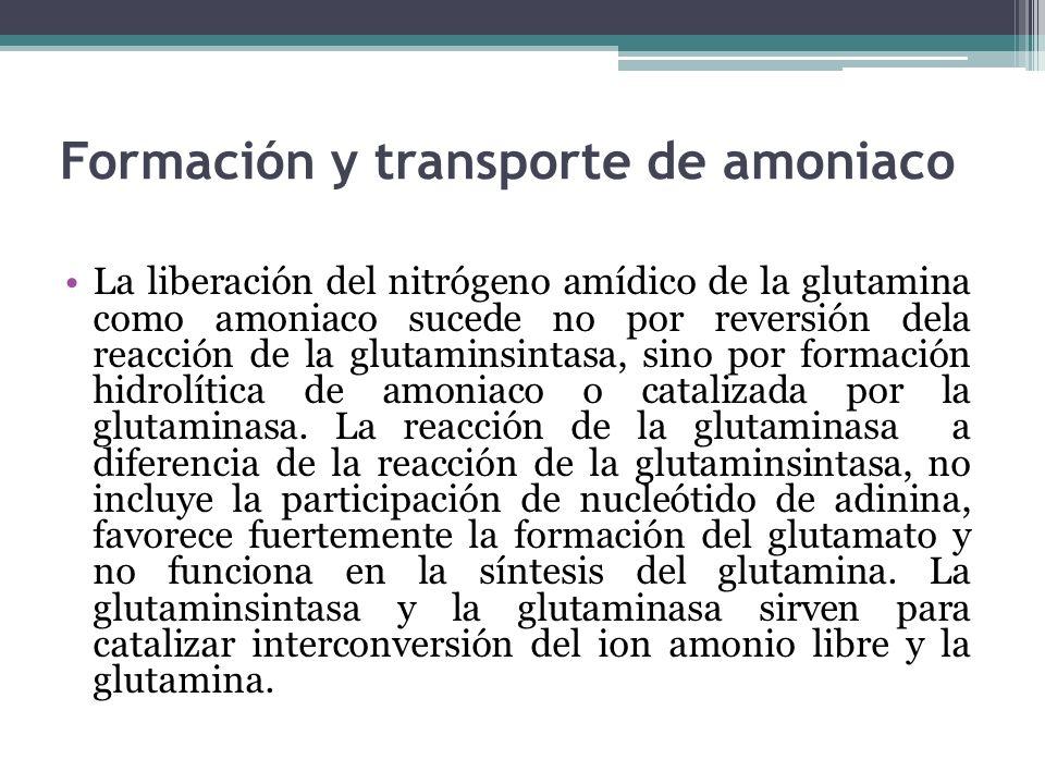Formación y transporte de amoniaco La liberación del nitrógeno amídico de la glutamina como amoniaco sucede no por reversión dela reacción de la gluta