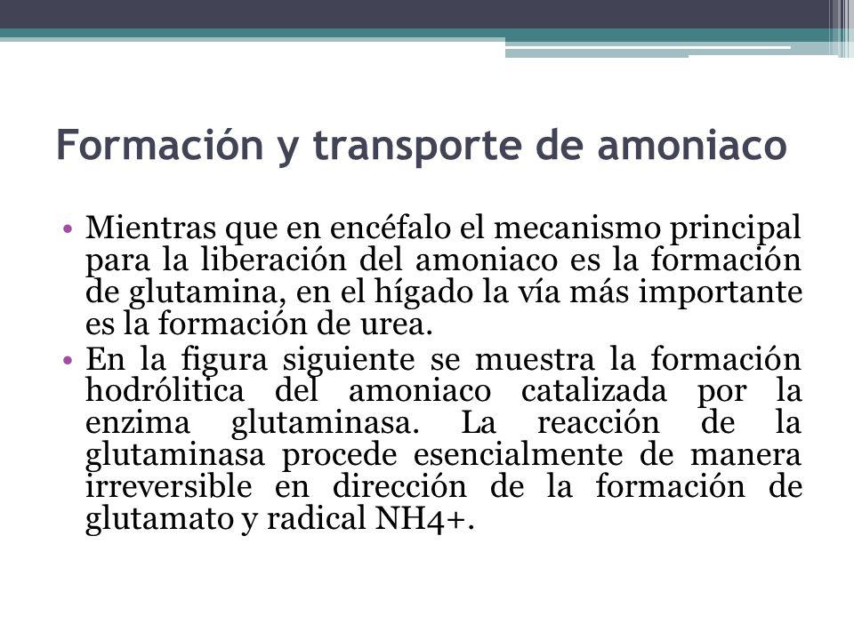 Formación y transporte de amoniaco Mientras que en encéfalo el mecanismo principal para la liberación del amoniaco es la formación de glutamina, en el