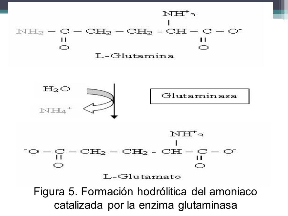 Figura 5. Formación hodrólitica del amoniaco catalizada por la enzima glutaminasa