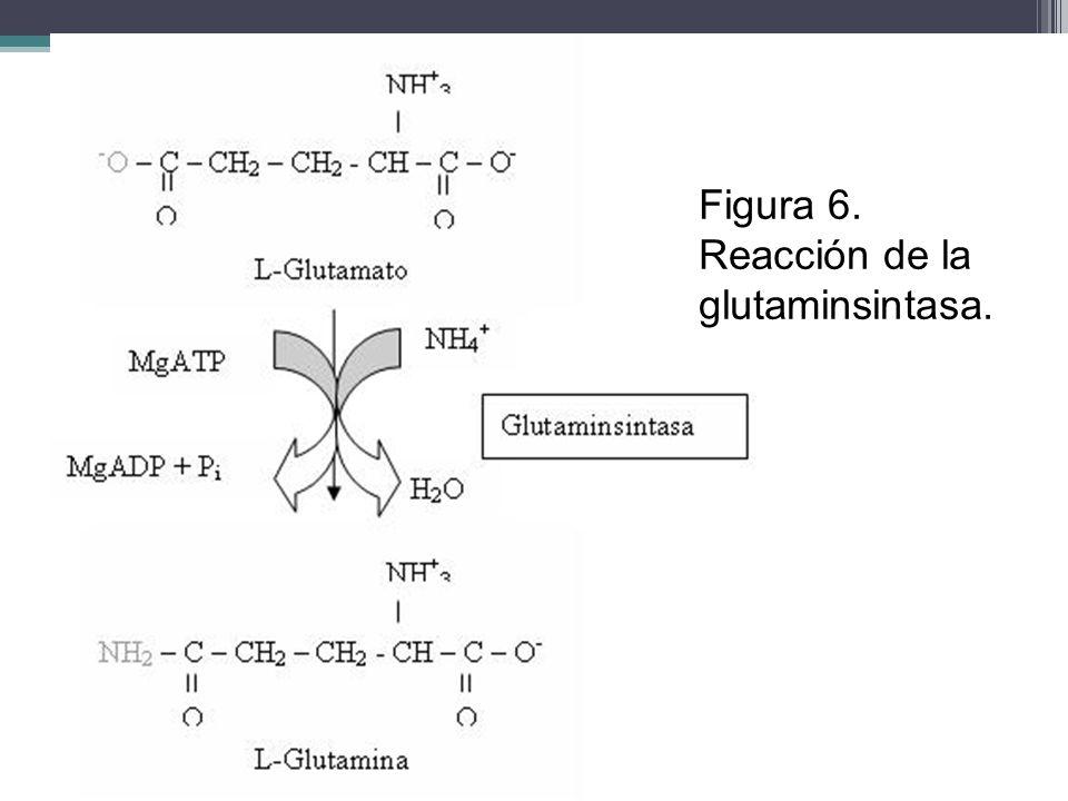 Figura 6. Reacción de la glutaminsintasa.