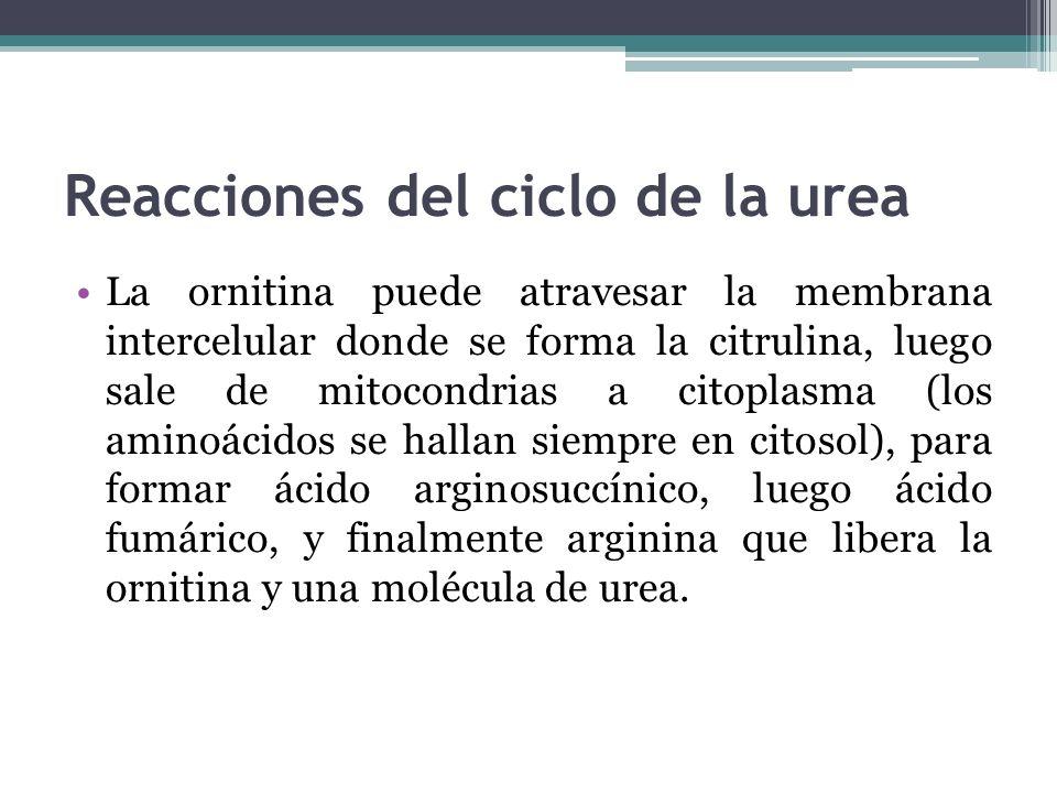 Reacciones del ciclo de la urea La ornitina puede atravesar la membrana intercelular donde se forma la citrulina, luego sale de mitocondrias a citopla