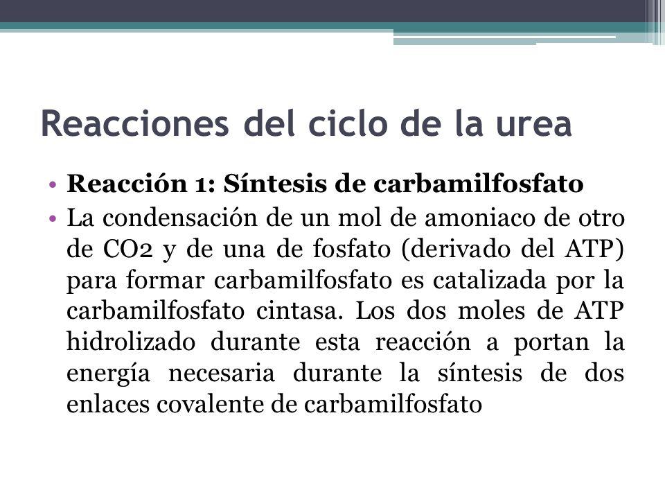 Reacciones del ciclo de la urea Reacción 1: Síntesis de carbamilfosfato La condensación de un mol de amoniaco de otro de CO2 y de una de fosfato (deri