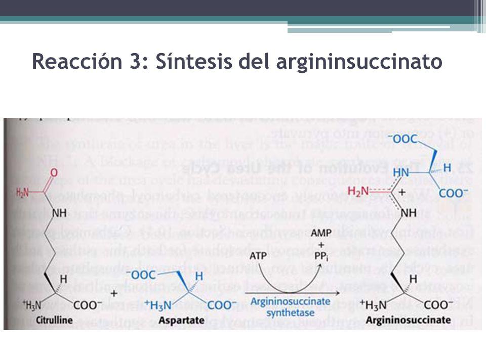 Reacción 3: Síntesis del argininsuccinato