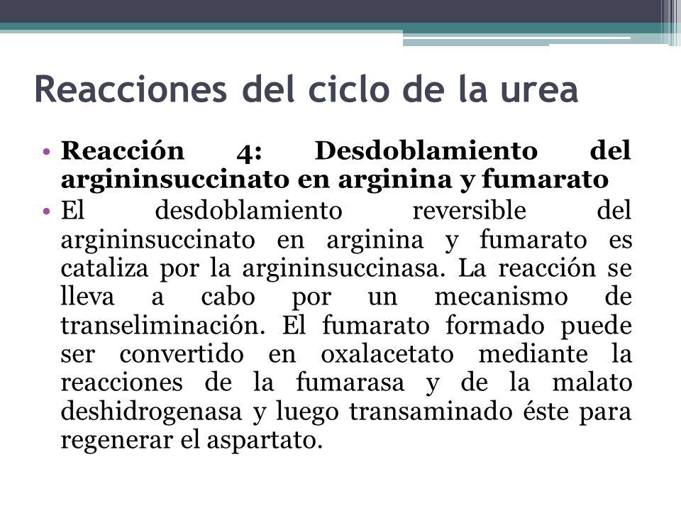 Reacciones del ciclo de la urea Reacción 4: Desdoblamiento del argininsuccinato en arginina y fumarato El desdoblamiento reversible del argininsuccina