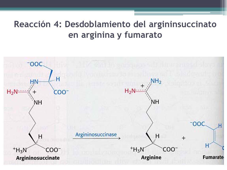 Reacción 4: Desdoblamiento del argininsuccinato en arginina y fumarato