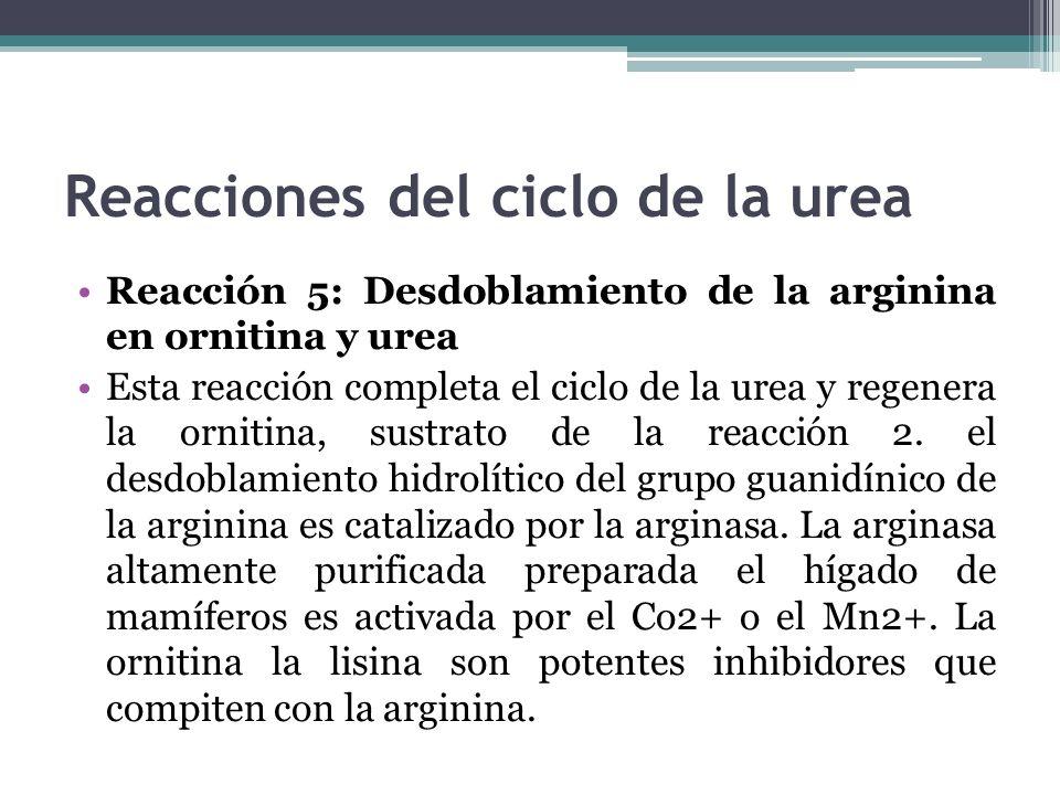 Reacciones del ciclo de la urea Reacción 5: Desdoblamiento de la arginina en ornitina y urea Esta reacción completa el ciclo de la urea y regenera la