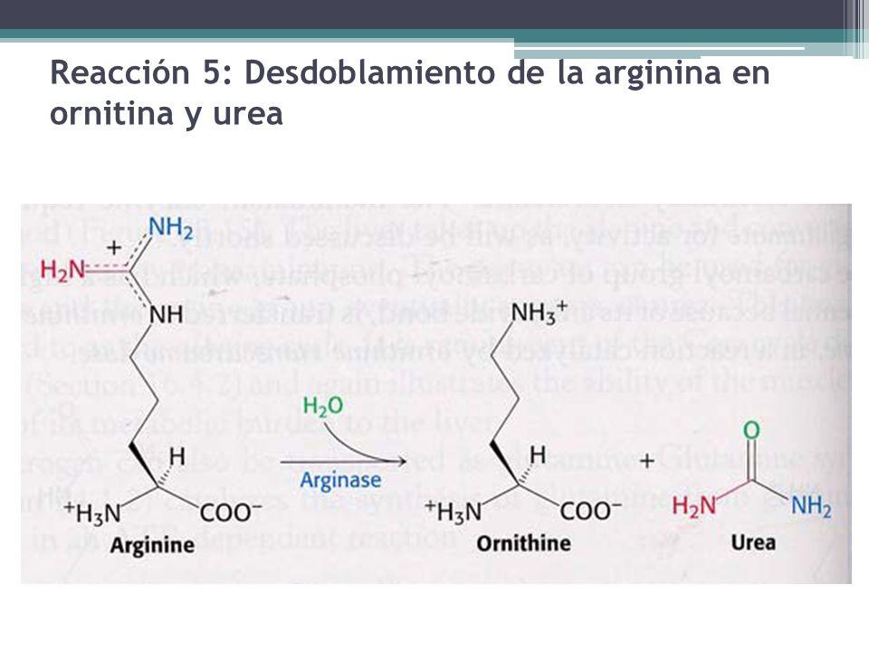 Reacción 5: Desdoblamiento de la arginina en ornitina y urea