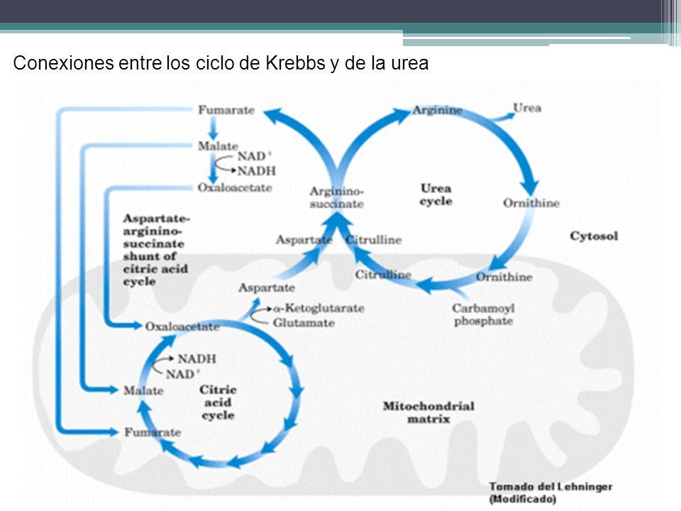 Conexiones entre los ciclo de Krebbs y de la urea