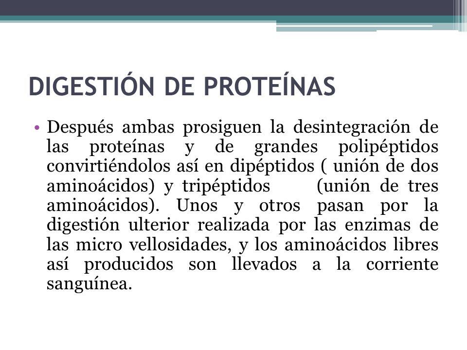 DIGESTIÓN DE PROTEÍNAS Después ambas prosiguen la desintegración de las proteínas y de grandes polipéptidos convirtiéndolos así en dipéptidos ( unión
