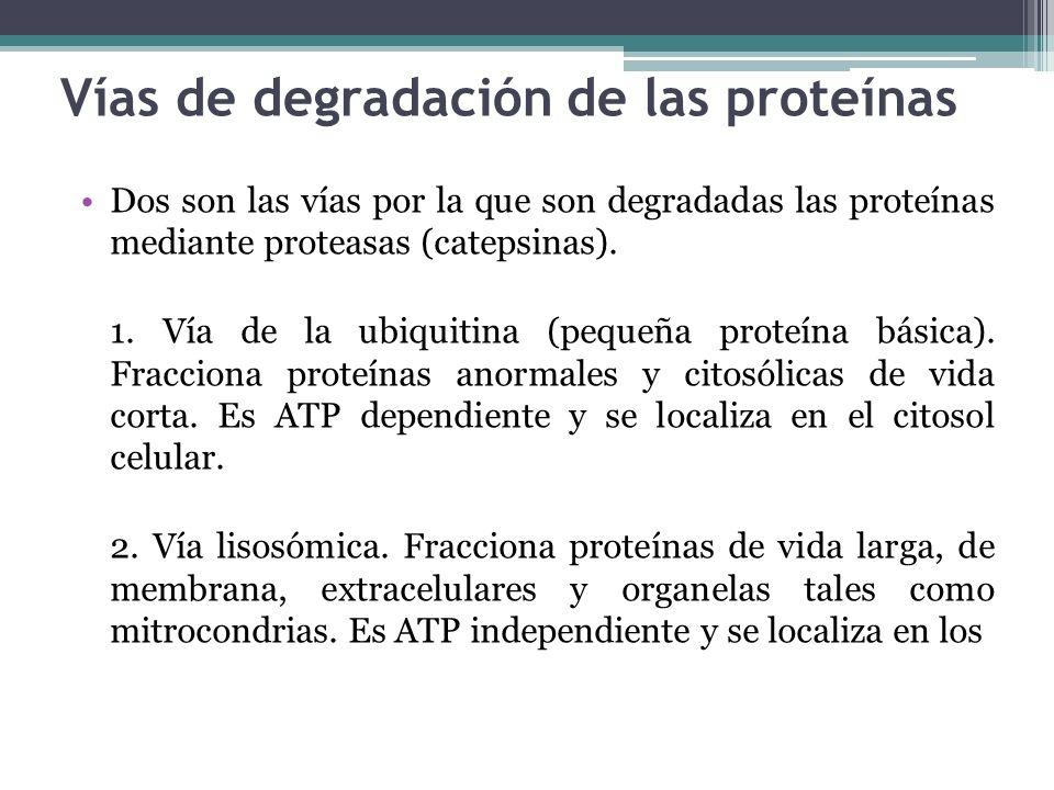 Vías de degradación de las proteínas Dos son las vías por la que son degradadas las proteínas mediante proteasas (catepsinas). 1. Vía de la ubiquitina
