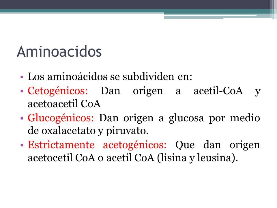 Aminoacidos Los aminoácidos se subdividen en: Cetogénicos: Dan origen a acetil-CoA y acetoacetil CoA Glucogénicos: Dan origen a glucosa por medio de o