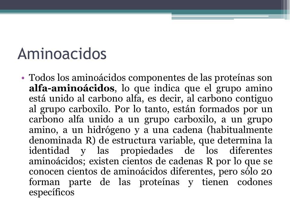 Aminoacidos Todos los aminoácidos componentes de las proteínas son alfa-aminoácidos, lo que indica que el grupo amino está unido al carbono alfa, es d