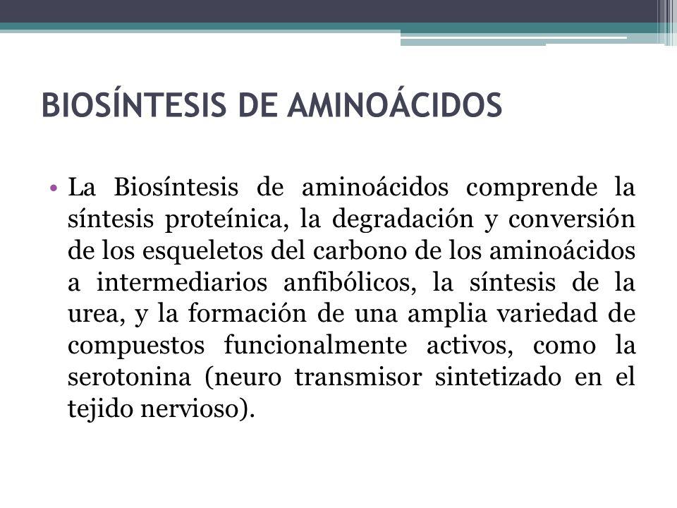 BIOSÍNTESIS DE AMINOÁCIDOS La Biosíntesis de aminoácidos comprende la síntesis proteínica, la degradación y conversión de los esqueletos del carbono d