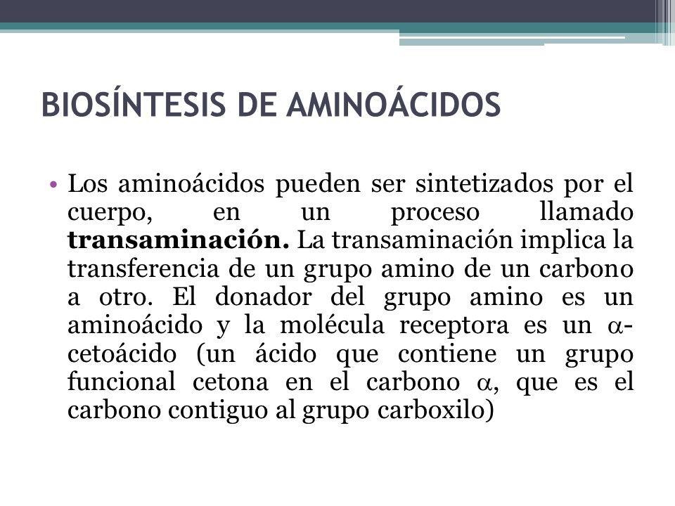 BIOSÍNTESIS DE AMINOÁCIDOS Los aminoácidos pueden ser sintetizados por el cuerpo, en un proceso llamado transaminación. La transaminación implica la t