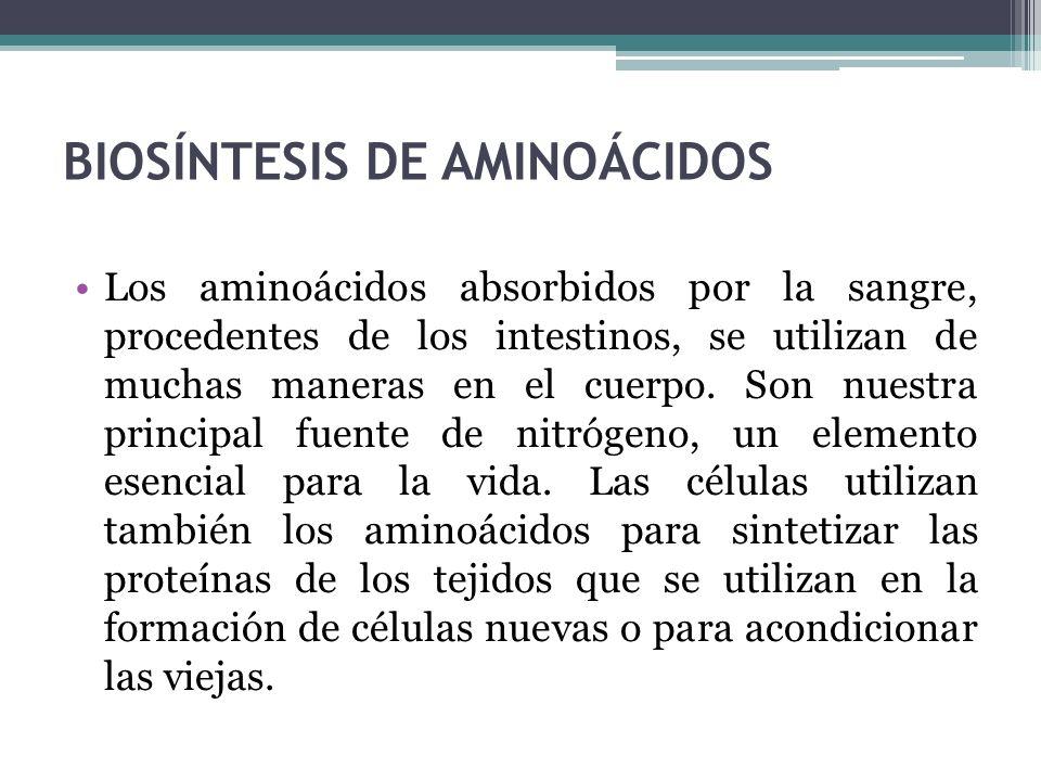 BIOSÍNTESIS DE AMINOÁCIDOS Los aminoácidos absorbidos por la sangre, procedentes de los intestinos, se utilizan de muchas maneras en el cuerpo. Son nu