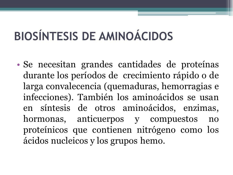 BIOSÍNTESIS DE AMINOÁCIDOS Se necesitan grandes cantidades de proteínas durante los períodos de crecimiento rápido o de larga convalecencia (quemadura