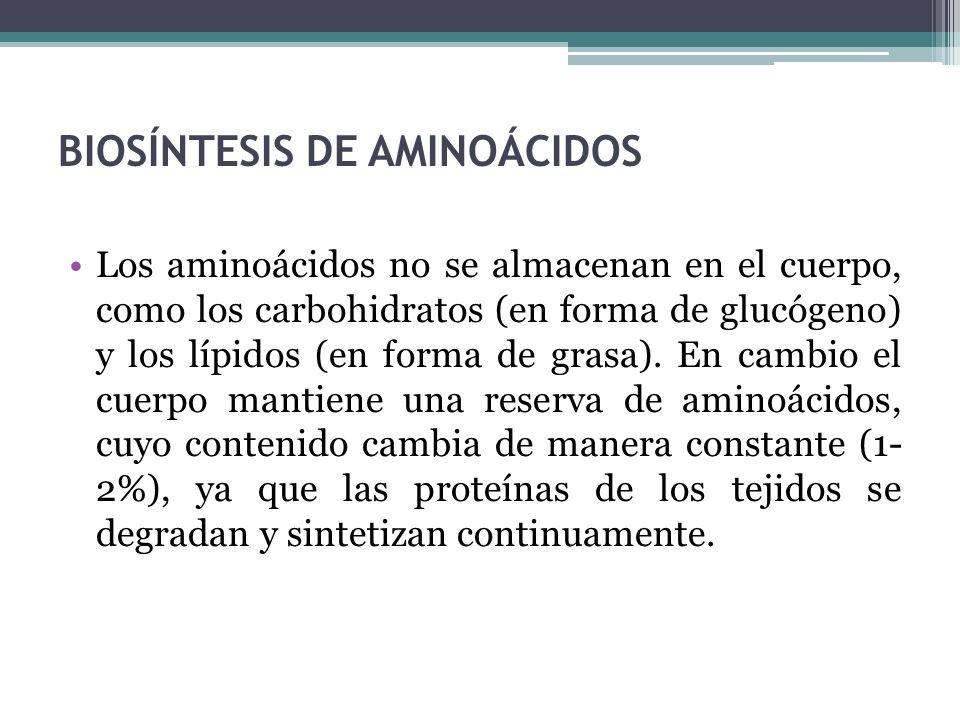 BIOSÍNTESIS DE AMINOÁCIDOS Los aminoácidos no se almacenan en el cuerpo, como los carbohidratos (en forma de glucógeno) y los lípidos (en forma de gra