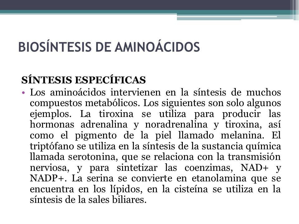 BIOSÍNTESIS DE AMINOÁCIDOS SÍNTESIS ESPECÍFICAS Los aminoácidos intervienen en la síntesis de muchos compuestos metabólicos. Los siguientes son solo a