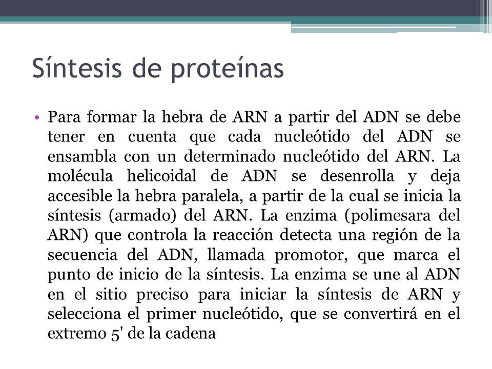 Síntesis de proteínas Para formar la hebra de ARN a partir del ADN se debe tener en cuenta que cada nucleótido del ADN se ensambla con un determinado