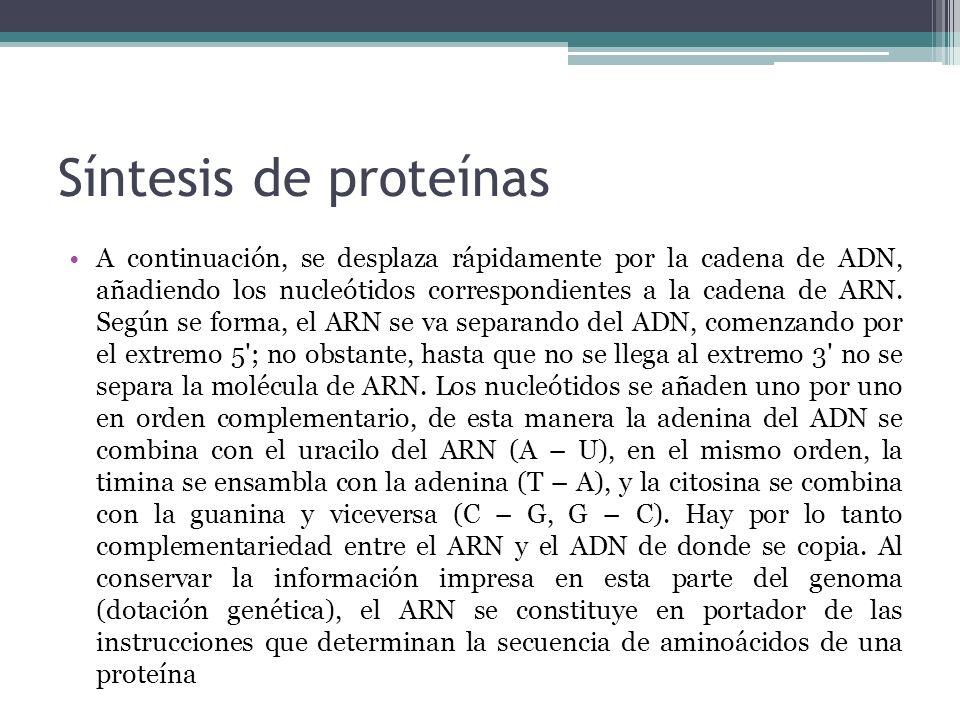 Síntesis de proteínas A continuación, se desplaza rápidamente por la cadena de ADN, añadiendo los nucleótidos correspondientes a la cadena de ARN. Seg