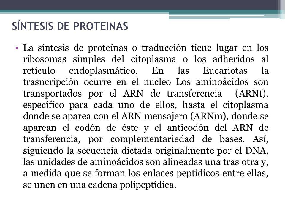 La síntesis de proteínas o traducción tiene lugar en los ribosomas simples del citoplasma o los adheridos al retículo endoplasmático. En las Eucariota