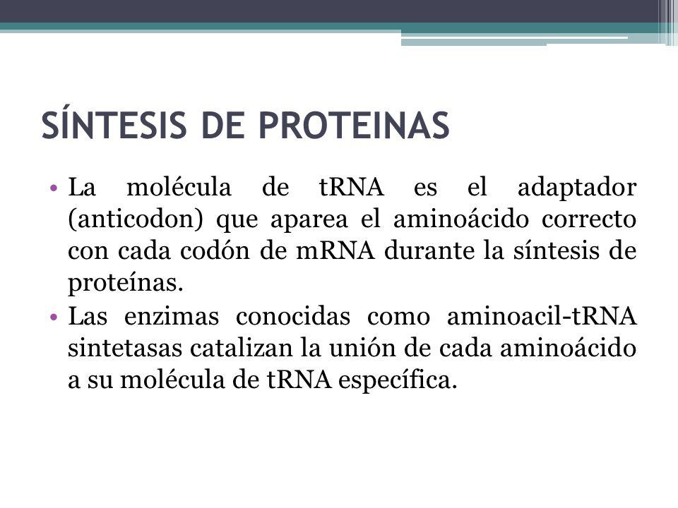 La molécula de tRNA es el adaptador (anticodon) que aparea el aminoácido correcto con cada codón de mRNA durante la síntesis de proteínas. Las enzimas