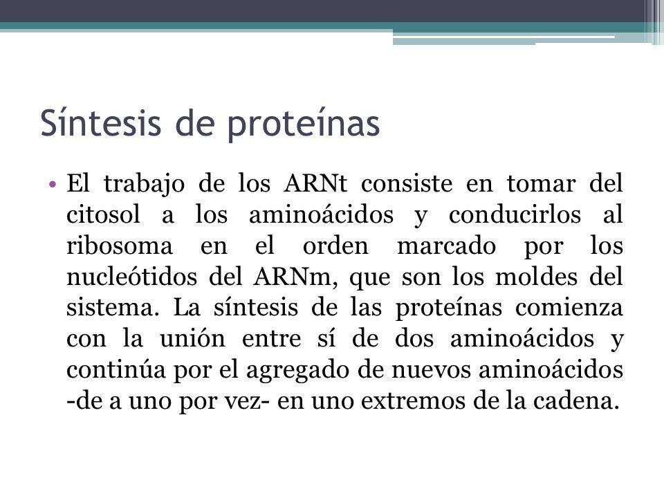 Síntesis de proteínas El trabajo de los ARNt consiste en tomar del citosol a los aminoácidos y conducirlos al ribosoma en el orden marcado por los nuc