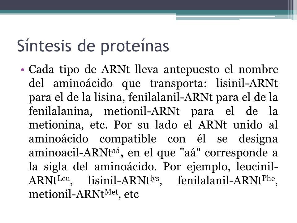 Síntesis de proteínas Cada tipo de ARNt lleva antepuesto el nombre del aminoácido que transporta: lisinil-ARNt para el de la lisina, fenilalanil-ARNt