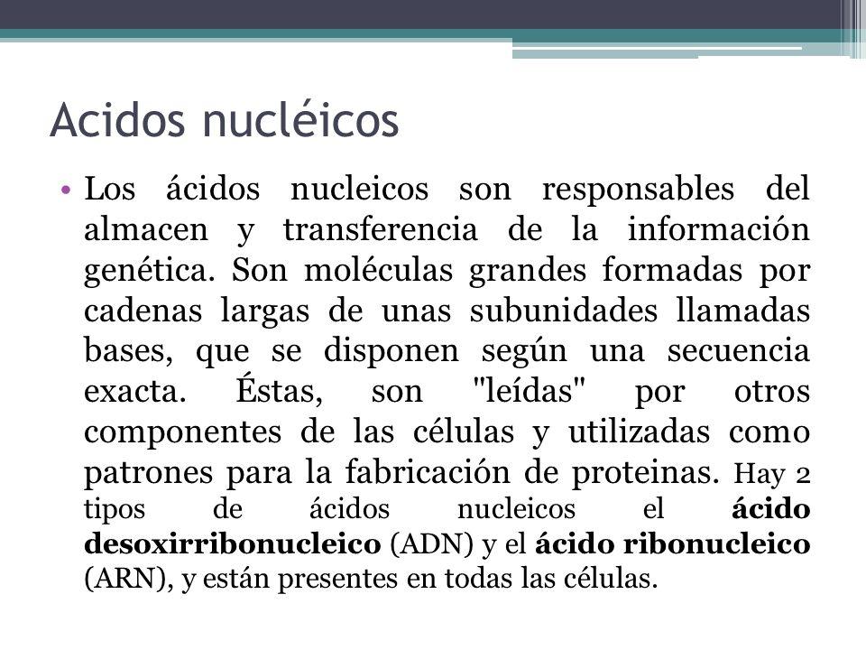 Acidos nucléicos Los ácidos nucleicos son responsables del almacen y transferencia de la información genética. Son moléculas grandes formadas por cade
