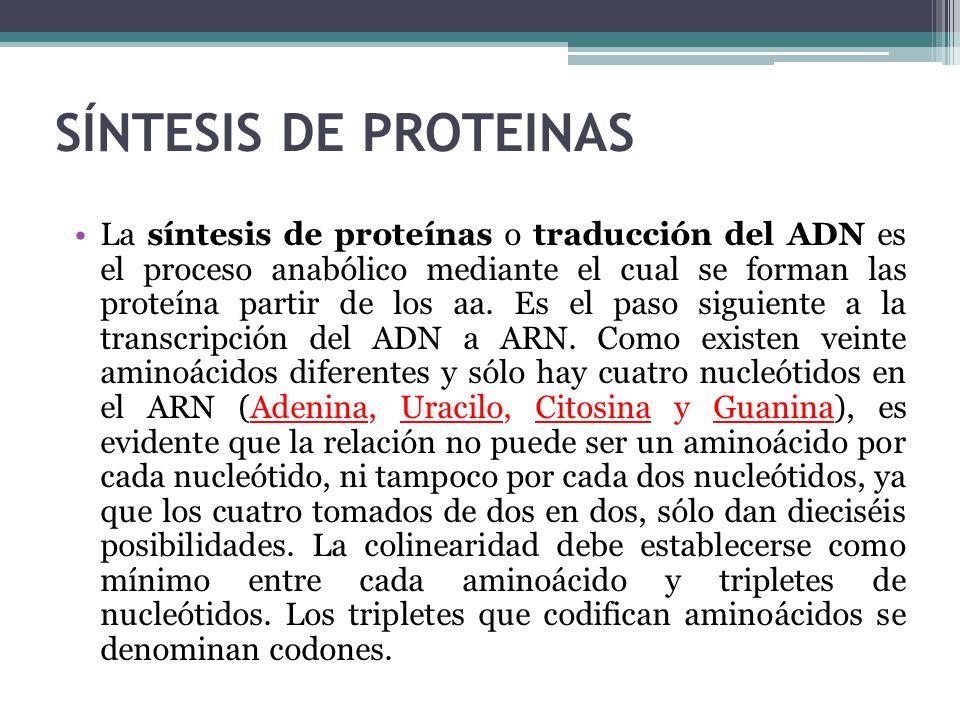 SÍNTESIS DE PROTEINAS La síntesis de proteínas o traducción del ADN es el proceso anabólico mediante el cual se forman las proteína partir de los aa.
