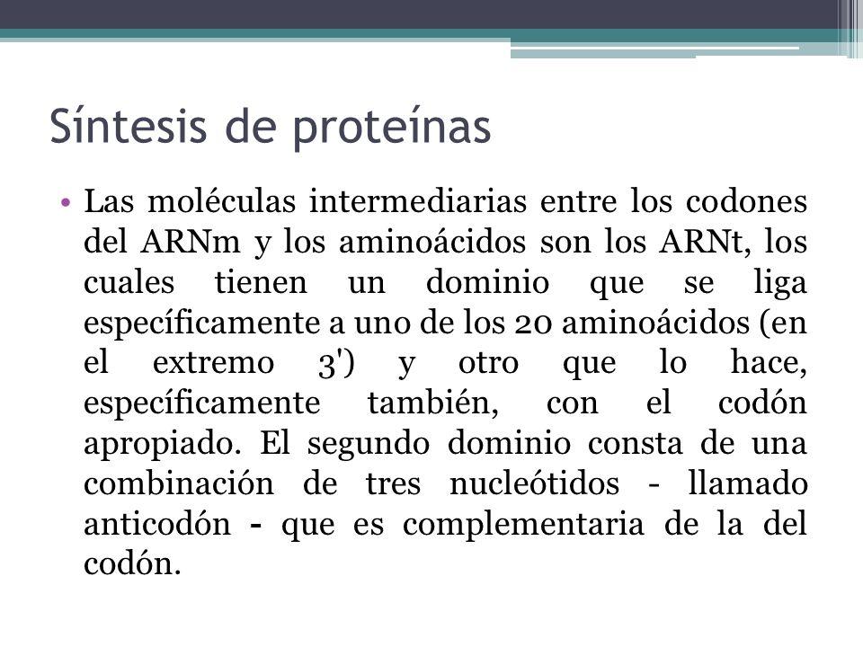 Síntesis de proteínas Las moléculas intermediarias entre los codones del ARNm y los aminoácidos son los ARNt, los cuales tienen un dominio que se liga