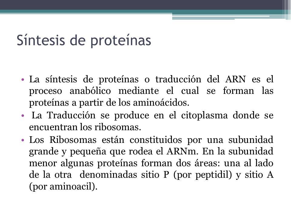 Síntesis de proteínas La síntesis de proteínas o traducción del ARN es el proceso anabólico mediante el cual se forman las proteínas a partir de los a