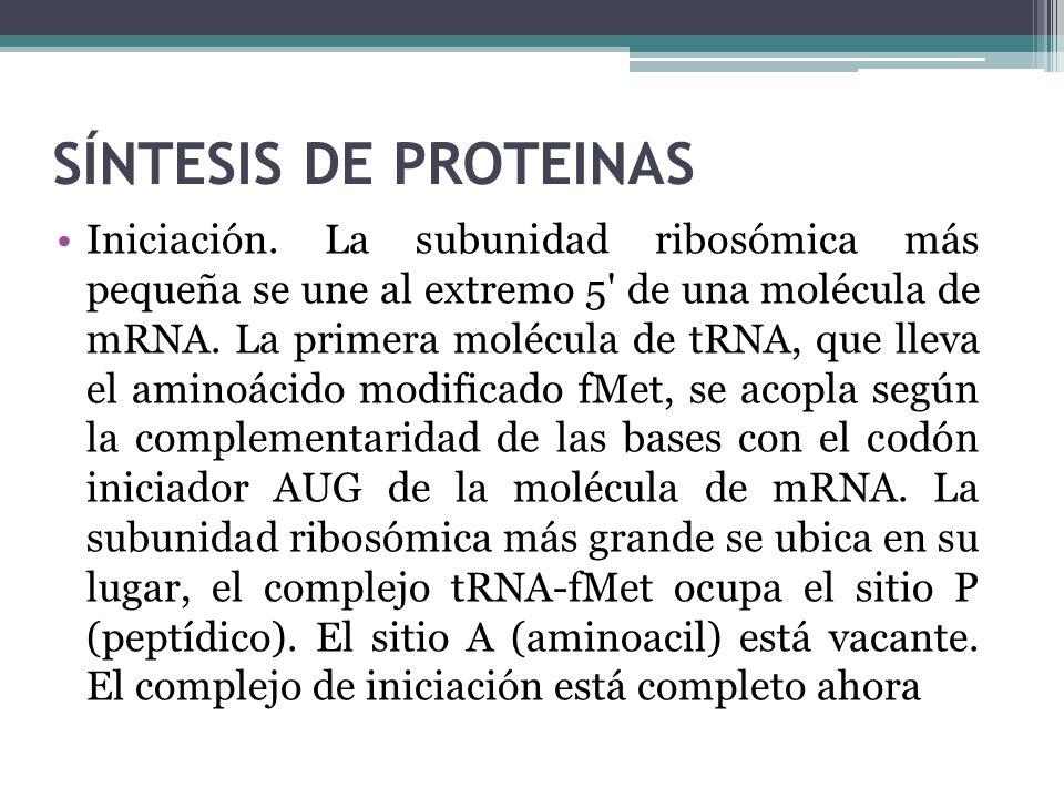 SÍNTESIS DE PROTEINAS Iniciación. La subunidad ribosómica más pequeña se une al extremo 5' de una molécula de mRNA. La primera molécula de tRNA, que l