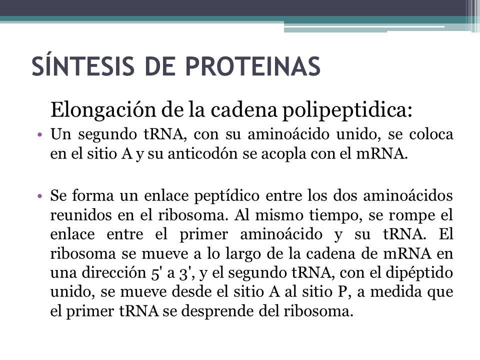 SÍNTESIS DE PROTEINAS Elongación de la cadena polipeptidica: Un segundo tRNA, con su aminoácido unido, se coloca en el sitio A y su anticodón se acopl