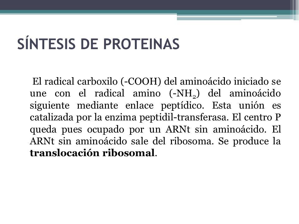 SÍNTESIS DE PROTEINAS El radical carboxilo (-COOH) del aminoácido iniciado se une con el radical amino (-NH 2 ) del aminoácido siguiente mediante enla