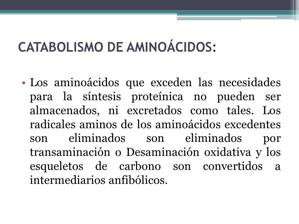 CATABOLISMO DE AMINOÁCIDOS: Los aminoácidos que exceden las necesidades para la síntesis proteínica no pueden ser almacenados, ni excretados como tale