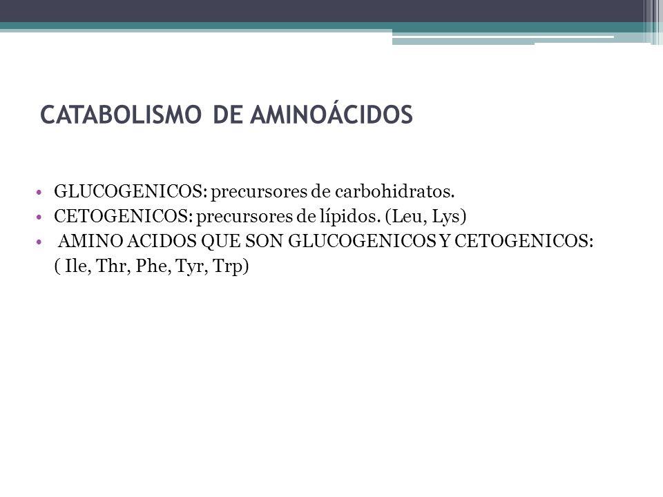CATABOLISMO DE AMINOÁCIDOS GLUCOGENICOS: precursores de carbohidratos. CETOGENICOS: precursores de lípidos. (Leu, Lys) AMINO ACIDOS QUE SON GLUCOGENIC