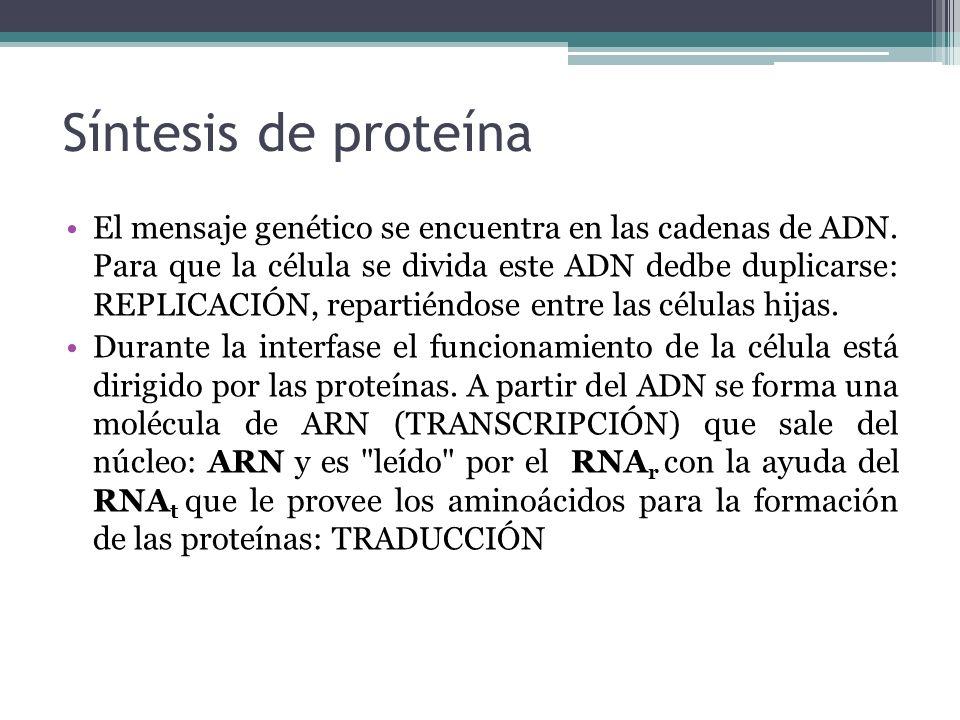 Síntesis de proteína El mensaje genético se encuentra en las cadenas de ADN. Para que la célula se divida este ADN dedbe duplicarse: REPLICACIÓN, repa