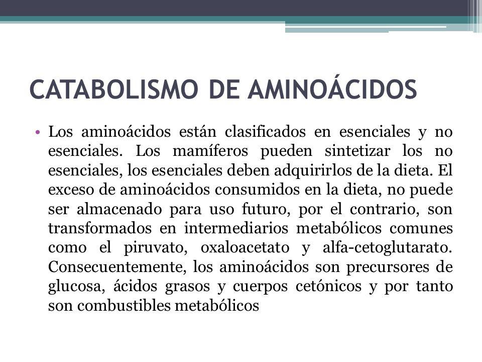 CATABOLISMO DE AMINOÁCIDOS Los aminoácidos están clasificados en esenciales y no esenciales. Los mamíferos pueden sintetizar los no esenciales, los es