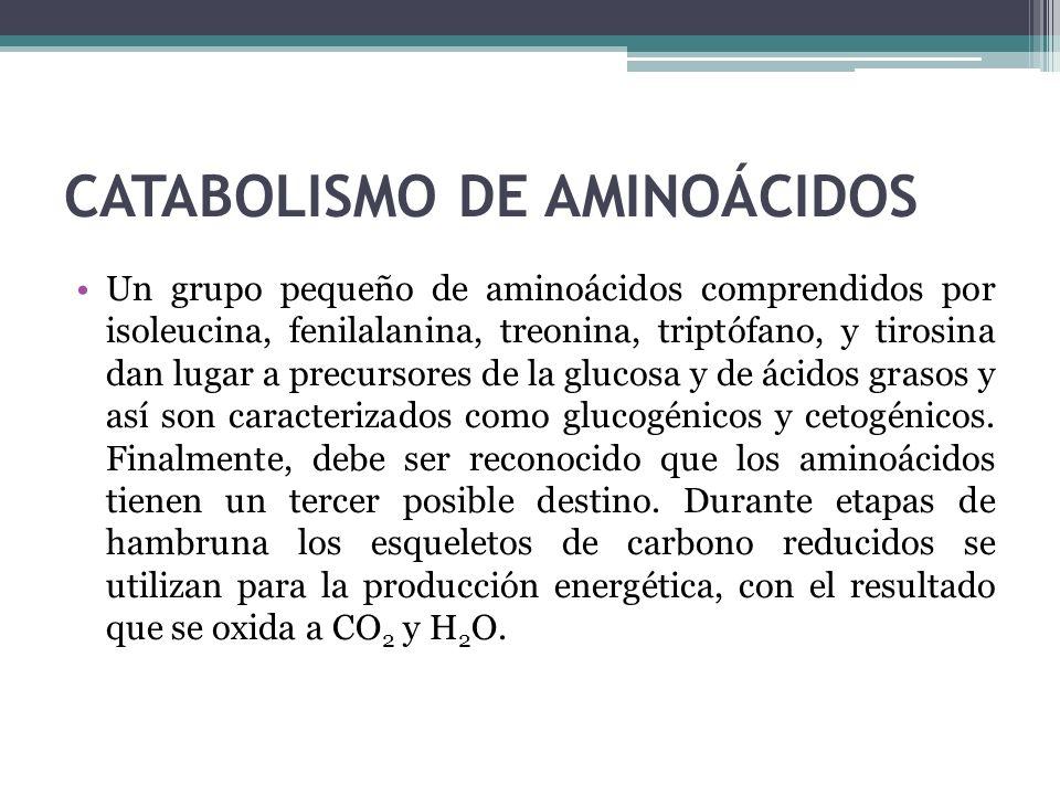 CATABOLISMO DE AMINOÁCIDOS Un grupo pequeño de aminoácidos comprendidos por isoleucina, fenilalanina, treonina, triptófano, y tirosina dan lugar a pre