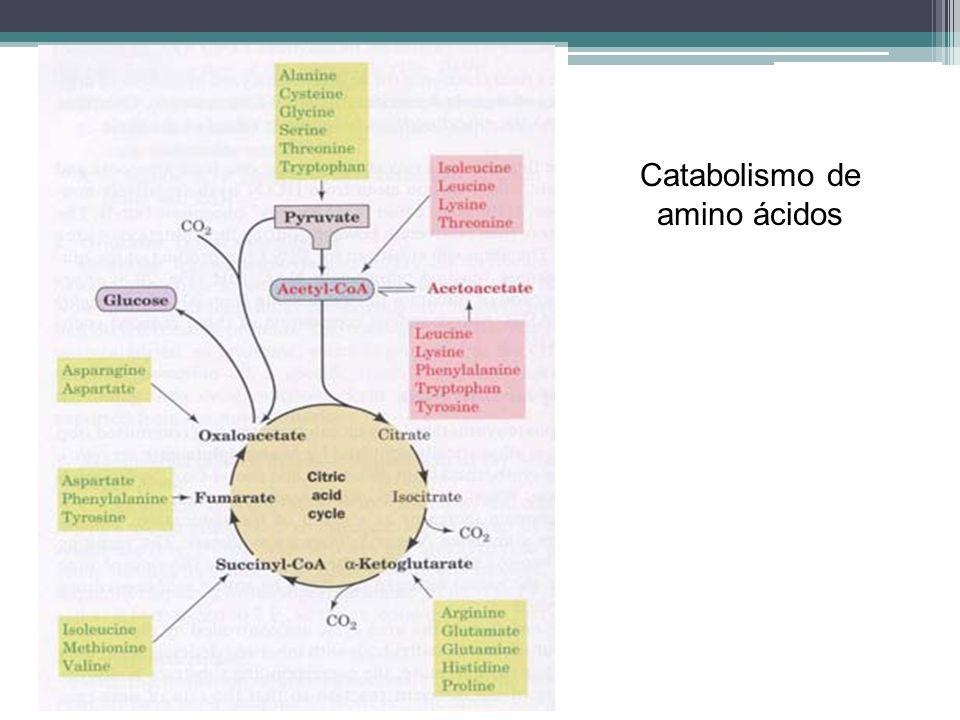 Catabolismo de amino ácidos