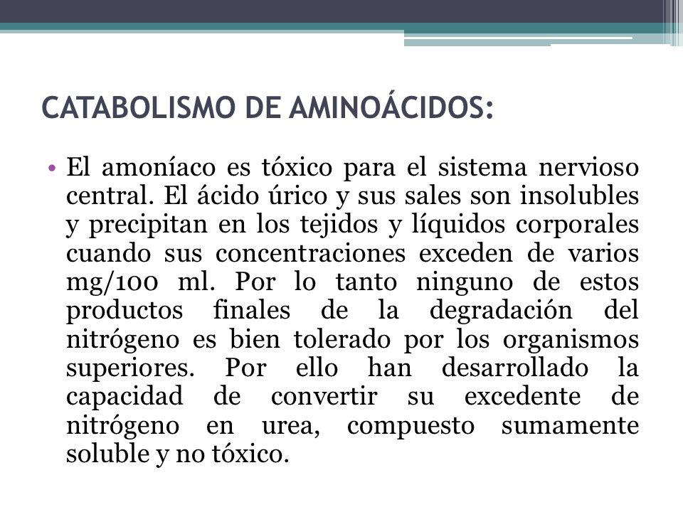 CATABOLISMO DE AMINOÁCIDOS: El amoníaco es tóxico para el sistema nervioso central. El ácido úrico y sus sales son insolubles y precipitan en los teji