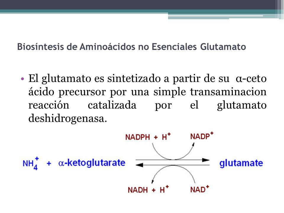 Biosíntesis de Aminoácidos no Esenciales Glutamato El glutamato es sintetizado a partir de su α-ceto ácido precursor por una simple transaminacion rea