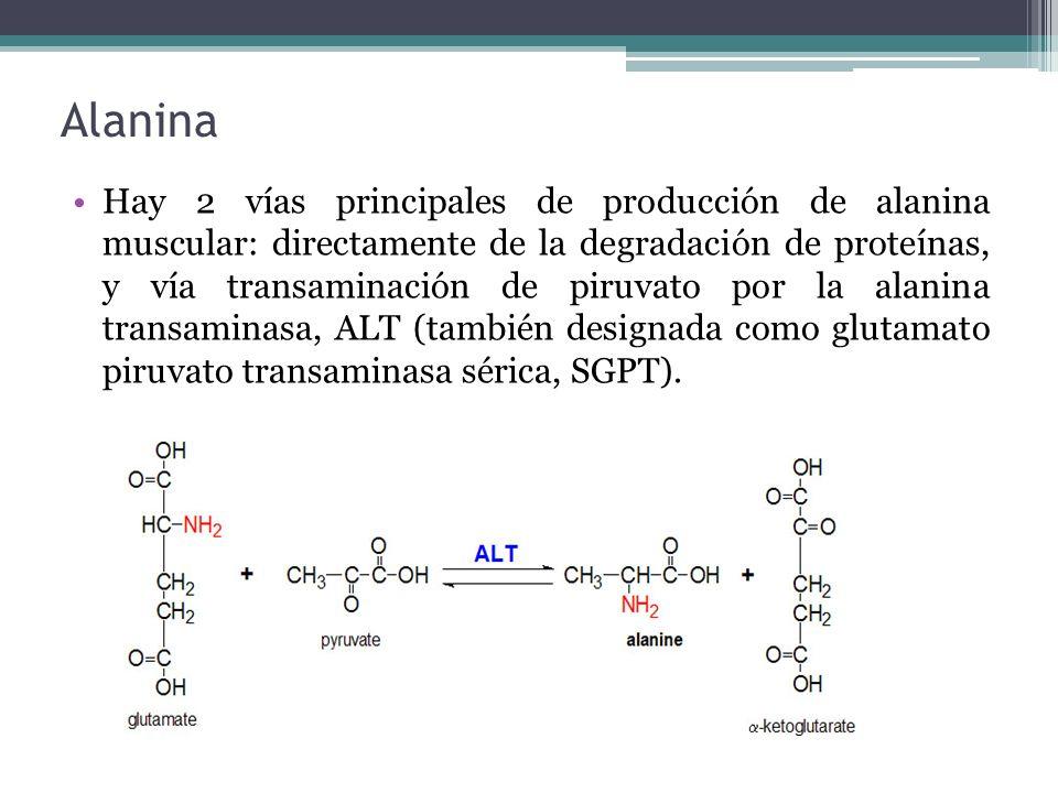 Alanina Hay 2 vías principales de producción de alanina muscular: directamente de la degradación de proteínas, y vía transaminación de piruvato por la
